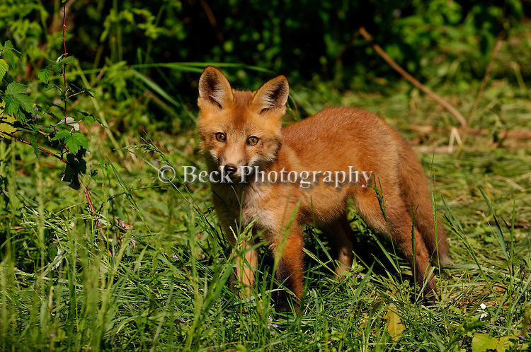 A curious red fox pup watches cautiously.