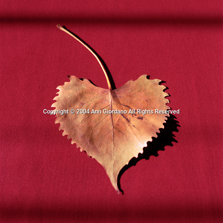 Heart shaped leaf from Eastern Cottonwood tree on red background
