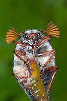 Gemeiner Maikäfer, Männchen, Feld-Maikäfer, Feldmaikäfer, Mai-Käfer, Melolontha melolontha, frisst an Eiche, maybeetle, may-beetle, common cockchafer, maybug
