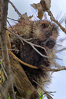 672950002 a wild porcupine erithizon dursatum sits in a tall tree on a national wildlife refuge just outside canadian texas united states