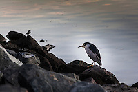 A motionless Black-crowned Night-heron stands on the rocks along San Leandro Marina Park.