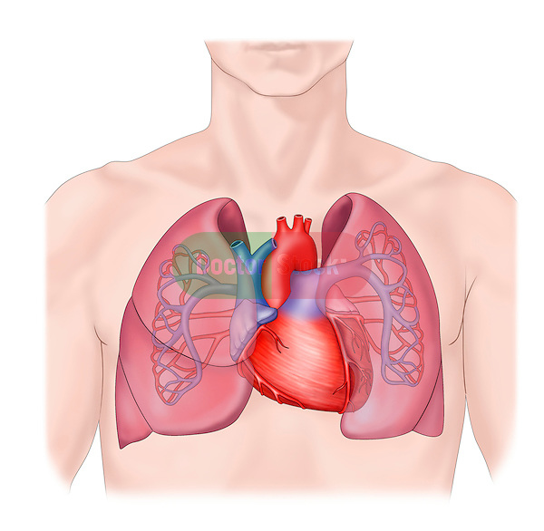 heart, lungs
