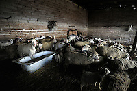 Allevamento di pecore. Breeding of sheep...