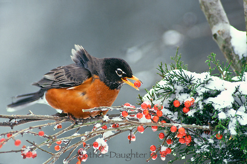 American Robin, Turdus Migratorius, eating holly berry perched on snowy branch