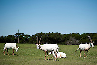 A group of Arabain Oryx hang out at Fossil Rim Wildlife Center in Glen Rose, Texas, April 25, 2010. Fossil Rim Wildlife Center Park offers 1,700 acres with 1,100 animals which roam freely in large pastures. ..PHOTOS/ MATT NAGER
