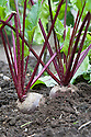 Beetroot 'Action', early August.
