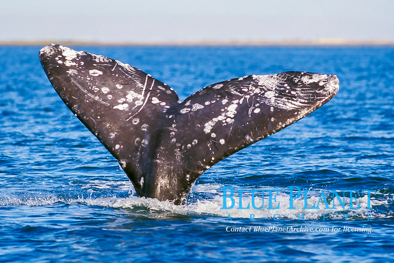 gray whale fluke, Eschrichitius robustus, San Ignacio Lagoon, Mexico, Pacific Ocean