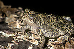 American toad, Bufo americanus, in breeding colors