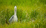 A great blue heron sits in the tall grass.