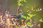 Blackpoll warbler in northern Wisconsin.