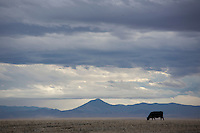 A lone cow grazes in north-central Montana, USA.