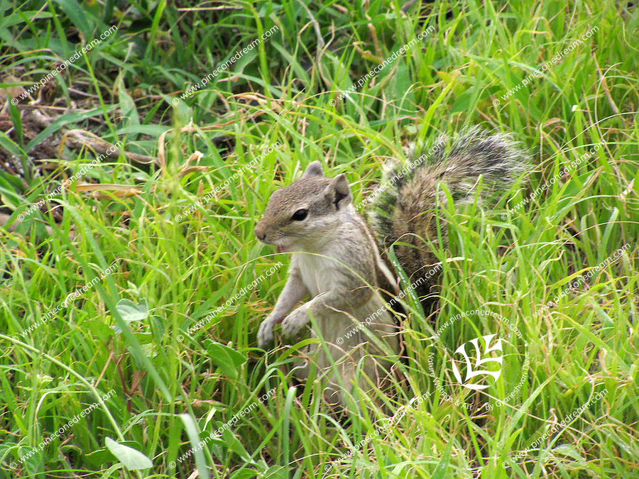 A cute naughty squirrel with tail raised up playing in lush green grass