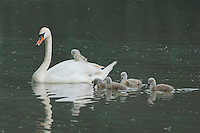 Mute Swan ( Cygnus olor), female with young, Lake of Zug, Switzerland
