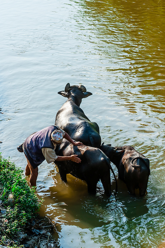 Washing water buffalo, Bhaktapur, Kathmandu Valley, Nepal.