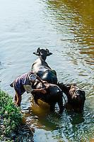 Washing water buffalo, Bhaktapur, Kathmandu Valley, Nepal.