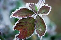 Germany, Bavaria: first night frost decorates blackberry leaves with white frost | Deutschland, Bayern: die ersten Nachtfroeste zeugen vom bevorstehenden Winter - Brombeerblaetter mit Raureif