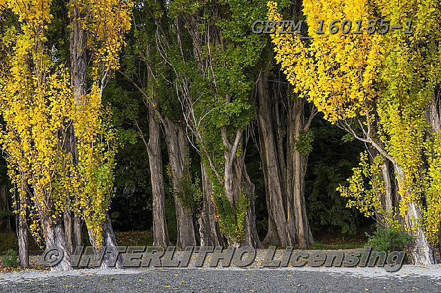 Tom Mackie, LANDSCAPES, LANDSCHAFTEN, PAISAJES, photos,+New Zealand, Tom Mackie, Worldwide, autumn, autumnal, beautiful, environment, environmental, fall, forest, green, holiday des+tination, horizontally, horizontals, poplar tree, restoftheworldgallery, season, tourist attraction, tree, trees, wood, woodl+and, yellow,New Zealand, Tom Mackie, Worldwide, autumn, autumnal, beautiful, environment, environmental, fall, forest, green,+holiday destination, horizontally, horizontals, poplar tree, restoftheworldgallery, season, tourist attraction, tree, trees,+,GBTM160185-1,#l#
