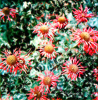 Bee balm flowers make a brilliant show in your garden in mid-late-summer. Butterflies, hummingbirds and bees love to visit bee balm.<br />