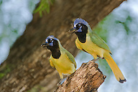 551110053 a pair of wild green jays cyanocorax yncas interact with each other while perched on a mesquite tree limb in the rio grande valley of south texas