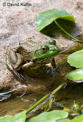 0818-1003  Northern Green Frog Sitting at edge of Pond, Lithobates clamitans, formerly Rana clamitans  © David Kuhn/Dwight Kuhn Photography