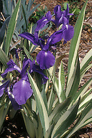Iris laevigata 'Variegata' in flower with variegated leaves