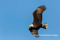 00807-03618 Bald Eagle (Haliaeetus lecocephalus) in flight Clinton Co. IL