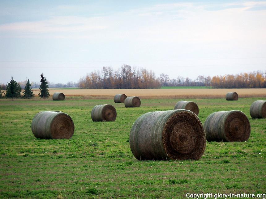 Harvest time haybales in the fields near Villeneuve, Alberta.