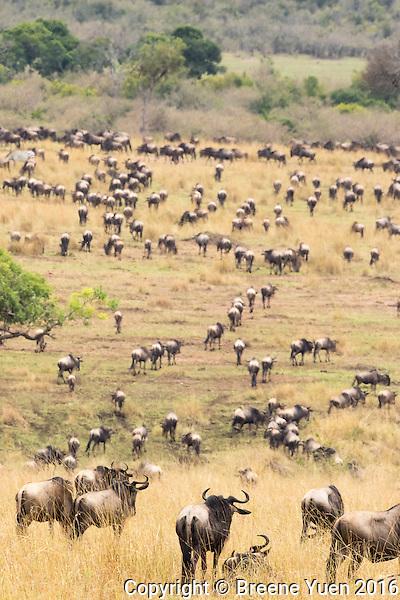 Wildebeast Migration4 Kenya 2015