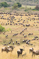Wildebeast Migration4 Kenya 2015