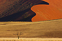 Namibia;  Namib Desert, Namib-Naukluft National Park, acacia tree in front of red sand dune near Sossusvlei