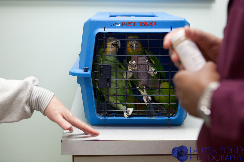 """Bud"" and ""Sylvester,"" orange-winged Amazon parrots belonging to Lynn Pennington, left, wait to be seen by Dr. Ram Mohan, D.V.M., right, at the Avian Health Clinic Inc. in Reynoldsburg, Ohio, on Oct. 27, 2012. Pennington, of Marysville, Ohio, brought her birds for a check-up at the clinic."