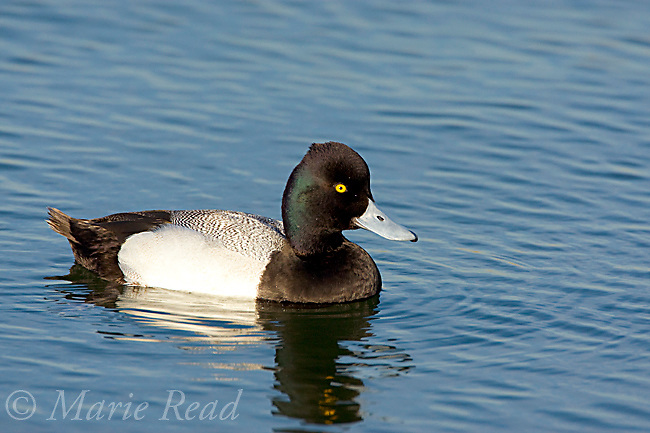 Lesser Scaup (Aythya affinis), male breeding plumage, swimming, Bolsa Chica Ecological Reserve, California, USA