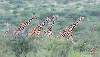 Reticulated Giraffes spot a Cheetah, Samburu