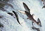 Sockeye salmon, Alaska, USA