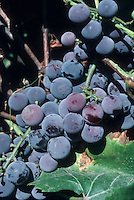 Concord grapes growing on vine, Vitis labrusca