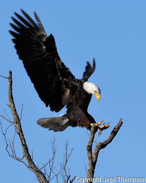 Bald Eagle approaches landing spot in LLano, TX