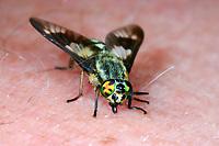 Goldaugenbremse, Goldaugen-Bremse, Weibchen beim Stechen, Beißen auf menschlicher Haut, saugt Blut, Blutsauger, Bremse, Chrysops relictus, twin-lobed deerfly, Deer fly, yellow fly, deerfly, female