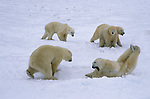 A group of polar bears play in the snow in Canada.