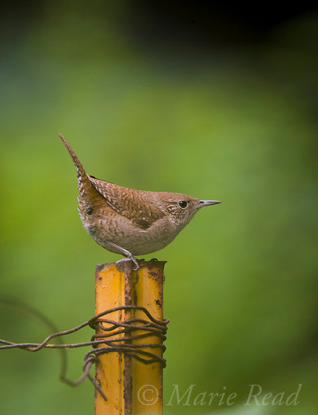 House Wren (Troglodytes aedon), in typical tail-cocked pose on a garden fence post, Ithaca, New York, USA