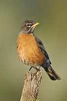 American Robin- Turdus migratorius - Adult female