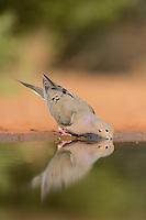 Mourning Dove (Zenaida macroura), adult at pond drinking, Rio Grande Valley, South Texas, Texas, USA