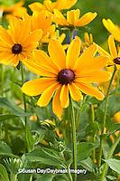 63821-204.15 Indian Summer Black-eyed Susan (Rudbeckia hirta 'Indian Summer') Marion Co. IL