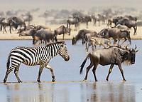 Zebra and Wildebeast Migration - Ndutu Lake - Serengeti - Tanzania