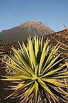 Ile de Fogo. volcan de Fogo (2829 m) et ses coulees de lave avec en premier plan des aloes geants.