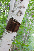 Bark peeled from birch tree in the Gale River forest in Bethlehem, New Hampshire.