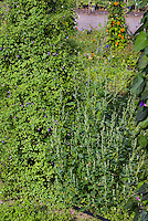 Chenopodium album (fat hen) weed garden problem pest, common name lamb's quarters aka lambs quarters