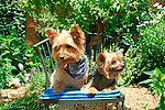 Toddy and Taffy, Yorkshire Terrier