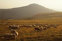 Europe/France/Auvergne/43/Haute-Loire/Env. Les Estables: Troupeau de moutons dans le massif du Mezenc (1754 mètres)