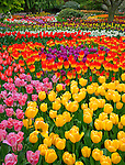 "Skagit County, WA               <br /> Colorful varieties of spring flowering tulips in the RoozenGaarde garden.<br />  ""Courtesy of the Washington Bulb Co. Inc."""