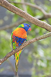 Kuranda, Queensland, Australia; Birdworld Kuranda, Rainbow Lorikeet (Trichoglossus haematodus) is a parrot common to the eastern seaboard of Australia, ranging from Queensland to South Australia. It is also found around northwest Tasmania. Its habitat is rainforest, coastal bush and woodland areas. , © Matthew Meier, matthewmeierphoto.com All Rights Reserved